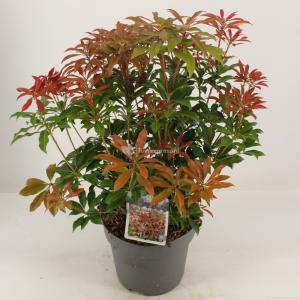 """Rotsheide (Pieris Japonica """"Mountain Fire"""") heester - 30-40 cm (C4.5) - 9 stuks"""