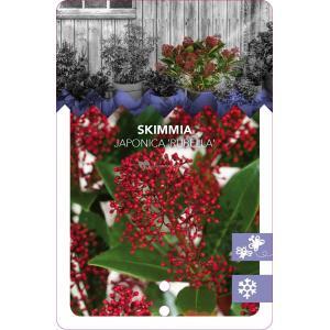"Skimmia (Skimmia Japonica ""Rubella"") heester - 25-30 cm (C10) - 5 stuks"