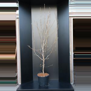Magnolia struik Yellow River - 2 stuks