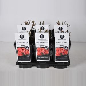 Miniatuurroos (rosa Mandarin®)