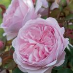 "Engelse klimroos (rosa ""Olivia Rose Austin""®)"