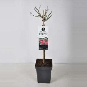 Miniatuurroos op stam (rosa Pepita®)