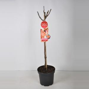 Grootbloemige roos op stam Parfum de Nature (rosa Scented Memory®Parfum de Nature) - Op stam 70 cm - 1 stuks