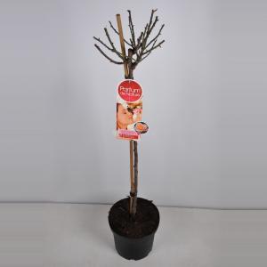Grootbloemige roos op stam Parfum de Nature (rosa Scented Memory®Parfum de Nature) - Op stam 90 cm - 1 stuks