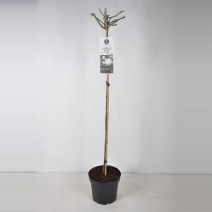 Trosroos op stam (rosa Aspirin Rose®) - Op stam 110 cm - 1 stuks