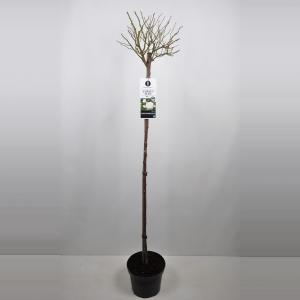 Trosroos op stam (rosa Aspirin Rose®) - Op stam 140 cm - 1 stuks