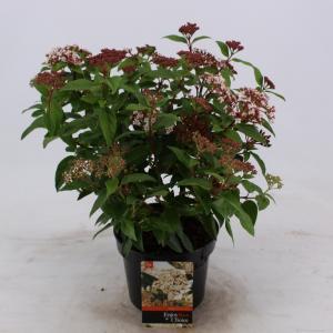 Sneeuwbal (Viburnum tinus) heester - 25-30 cm (C2) - 6 stuks