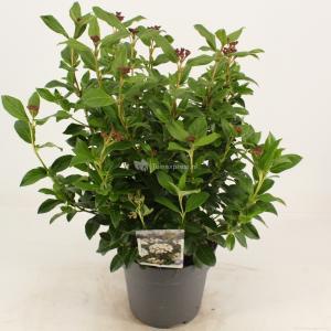 Sneeuwbal (Viburnum tinus) heester - 30-40 cm (C4.5) - 9 stuks