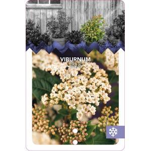Sneeuwbal (Viburnum tinus) heester - 40-50 cm (C15) - 4 stuks