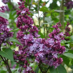 Sering (syringa vulgaris Adelaide Dunbar)