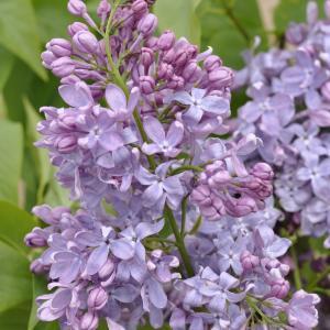 Sering op stam 85 cm (syringa vulgaris Lavender Lady)