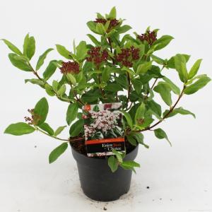 "Sneeuwbal (Viburnum tinus ""Gwenllian"") heester - 25-30 cm (C2) - 6 stuks"