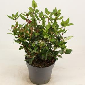 "Sneeuwbal (Viburnum tinus ""Gwenllian"") heester - 30-40 cm (C4.5) - 9 stuks"