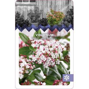 "Sneeuwbal (Viburnum tinus ""Gwenllian"") heester - 50-60 cm (C10) - 5 stuks"