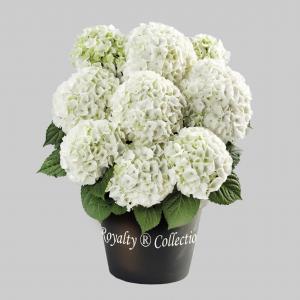 Hydrangea macrophylla White® boerenhortensia