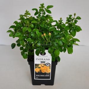 Trosroos (Rosa Indiane®) - C5 - 1 stuks