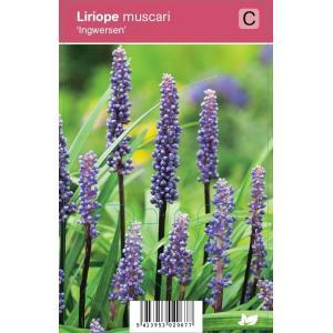 Leliegras (liriope muscari Ingwersen) najaarsbloeier - 12 stuks