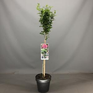 Hibiscus syriacus Magenta Chiffon op stam - 3 stuks