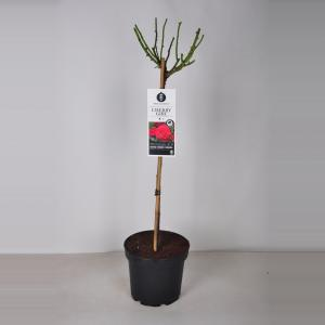 Rozen Cherry Girl op stam - Stam 70 cm - 3 stuks