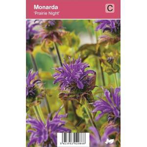 Bergamot (monarda Prairie Night) najaarsbloeier - 12 stuks