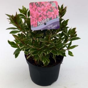 Rododendron (Rhododendron Japonica Silver Sword) heester - 15-20 cm - 8 stuks