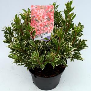 Rododendron (Rhododendron Japonica Silver Sword) heester - 30-35 cm - 1 stuks