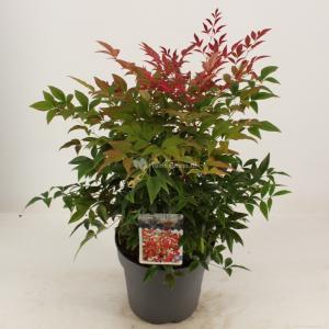 """Hemelse bamboe (Nandina domestica """"Obsessed""""®) heester - 30-40 cm - 8 stuks"""