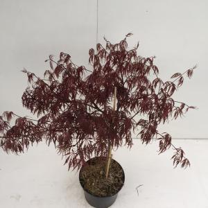 Japanse esdoorn (Acer palmatum Inaba Shidare) heester - 30-40 cm - 1 stuks