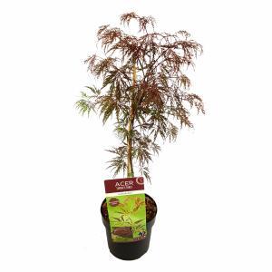 Japanse esdoorn (Acer palmatum Inaba Shidare) heester - 50-60 cm - 1 stuks
