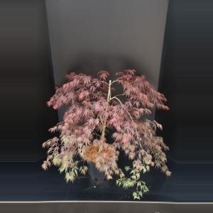 Japanse esdoorn (Acer palmatum Inaba Shidare) heester - 60-80 cm - 1 stuks
