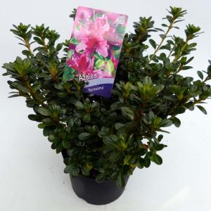 Rododendron (Rhododendron Japonica Kermesina) heester - 30-35 cm - 1 stuks