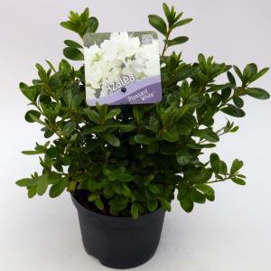 Rododendron (Rhododendron Japonica Pleasant White) heester - 15-20 cm - 8 stuks