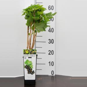 Zwarte bes (ribes nigrum Titania) fruitplanten - 10 stuks