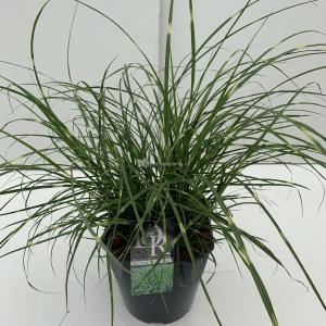 Prachtriet (Miscanthus sinensis Little Zebra) siergras - In 5 liter pot - 1 stuks
