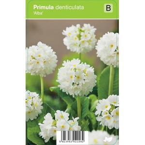 Bolprimula (primula denticulata Alba) voorjaarsbloeier - 12 stuks