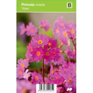 Sleutelbloem (primula rosea Gigas) voorjaarsbloeier - 12 stuks