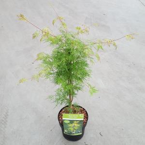 Japanse esdoorn (Acer palmatum Emerald Lace) heester