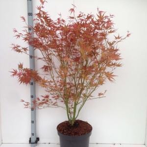 Japanse esdoorn (Acer palmatum Phoenix) heester - 80+ cm - 5 stuks