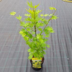 Japanse esdoorn (Acer shirasawanum Jordan) heester - 50-60 cm - 1 stuks