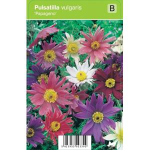 Wildemanskruid (pulsatilla vulgaris Papageno) voorjaarsbloeier - 12 stuks