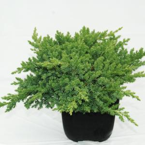 Kruipende jeneverbes (Juniperus procumbens Nana) conifeer