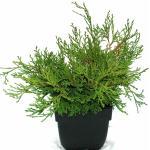 """Schijncipres (Chamaecyparis obtusa """"Pygmaea"""") conifeer"""