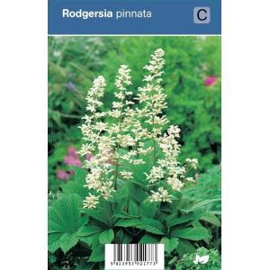 Schout bij nacht (rodgersia pinnata) schaduwplant - 12 stuks