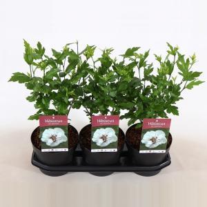 Hibiscus syriacus Speciosus - 40 cm - 3 stuks