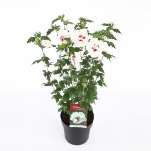 Hibiscus syriacus Speciosus - 50 - 60 cm - 8 stuks