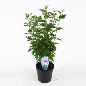 Hibiscus syriacus Oliseau Bleu - 40 - 60 cm - 8 stuks