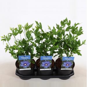 Hibiscus syriacus Marina - 30 - 40 cm - 3 stuks