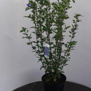 Hibiscus syriacus Marina - 50 - 60 cm - 8 stuks