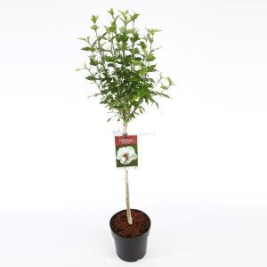 Hibiscus syriacus Speciosus op stam - Stam 60 cm - 9 stuks