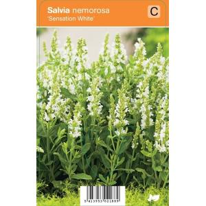 Salie (salvia nemorosa Sensation White) zomerbloeier - 12 stuks